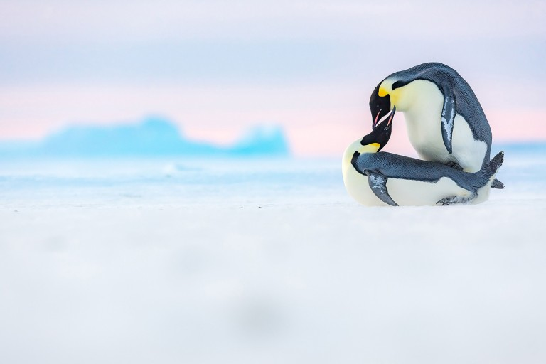 These are the stunning aquatic images that have wowed the judges at the annual Ocean Photography Awards 2021. // Photographer: Stefan Christmann / Two emperor penguins mating. The male is climbing onto the female. / Location: Antarctica // TRIANGLE NEWS 0203 176 5581 // news@trianglenews.co.uk SHARKS smile for the camera, sleepy turtles glide through the sea and a fish puffs on a cigarette in these striking photos. The stunning snaps were honoured in the prestigious 2021 Ocean Photography Awards, which has just announced its winners. The annual awards focus on adventure, conservation and exploration of the deep blue sea.