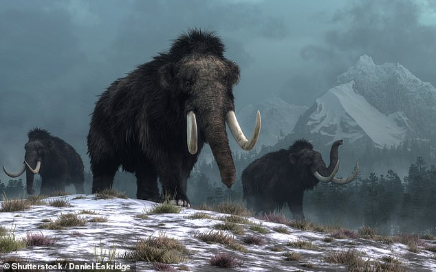 Woolly mammoths (pictured in this artist's impression) could be brought back from extinction within six years in the form of elephant–mammoth hybrids, researchers have claimed