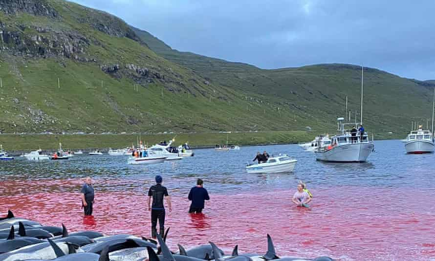 The carcasses of dead white-sided dolphins on a beach after being pulled from the blood-stained water on the island of Eysturoy.