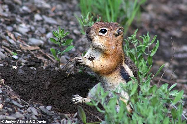 Golden-mantled ground squirrels (pictured) have different personalities, researchers at University of California, Davis found