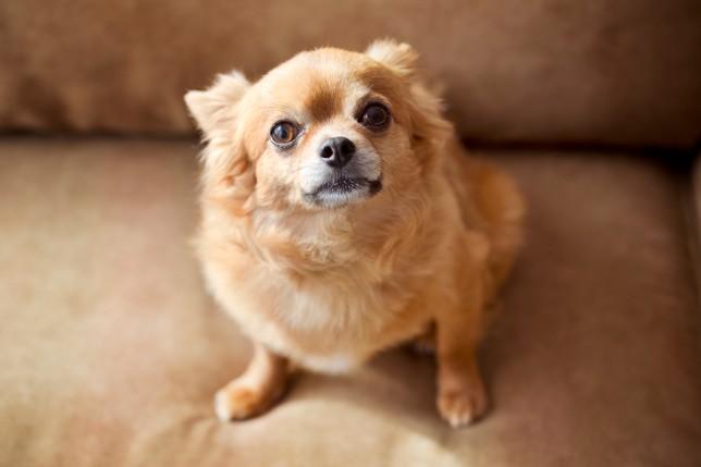 Chihuahua sitting on the sofa