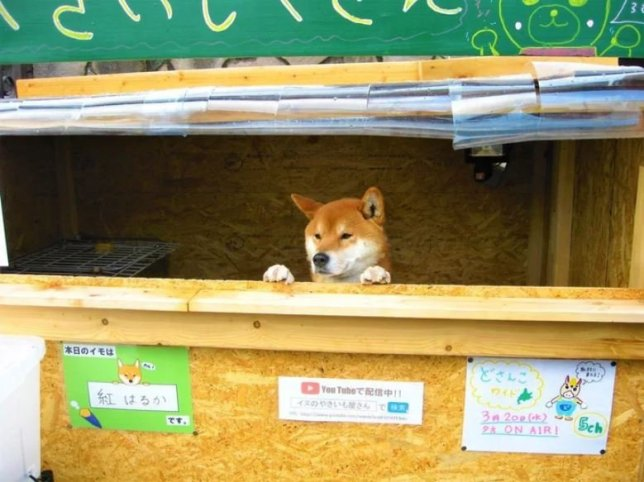 METRO GRAB - Adorable Shiba Inu dog runs his own roasted sweet potato store in Japan From @hobby_space_jun/Twitter