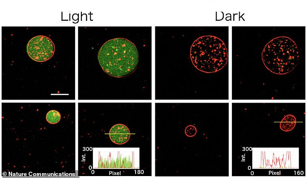 In the light,the artificial cells were activated and photosynthesises (green, left) and in the dark lay dormant (red, right). The ability to make artificial cellscould allow scientists to discover how real cells work and understand their origin and evolutionary history