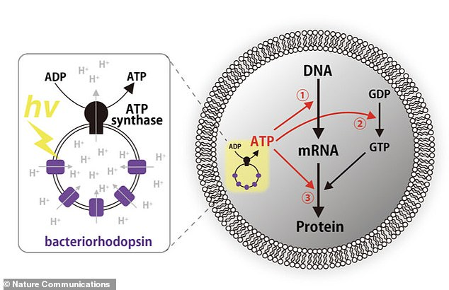 Chemicals were taken from real cells and various layers were made to create chemicals called ATP synthase and bacteriorhodopsin.They work in tandem and one is rendered ineffective without the other ad both are needed to complete the process of turning light into energy and using this energy to make parts of the cell
