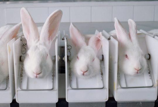 Rabbits tests at universities
