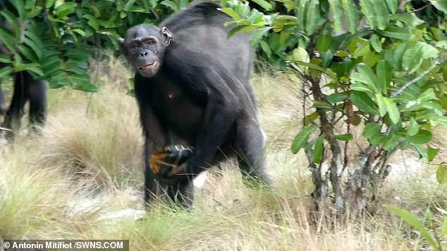 Food for thought: In some cases, individual chimps transported the tortoises for several minutes, and over considerable distances, before trying to crack them open on suitable trees