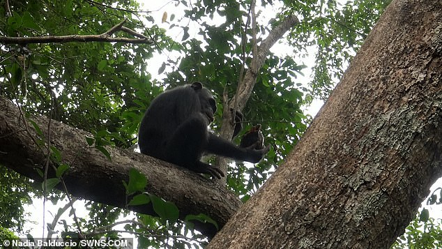 Food chain: The primate assesses its catch before devouring it and, later, sharing it with other family members - some of whom struggled to crack the shell