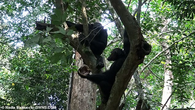 Gory: Ten times chimpanzees first smashed the tortoise against a trunk while on the ground and then smashed it again against another trunk or branch having climbed up a tree