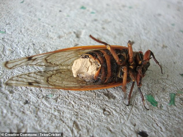 In a fate that would chill even George A Romero, fungus-infected cicadas face a 'flight of the living dead' as they turn into rotting, hypersexual, infectious zombies