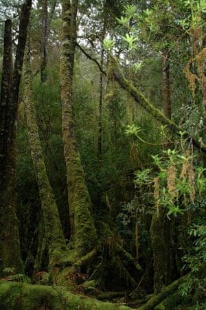 A Huon pine forest