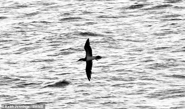 The brown booby was reported again later by someone else who saw it flying west past fishing boats around 2.30pm but there were no further signs by dusk