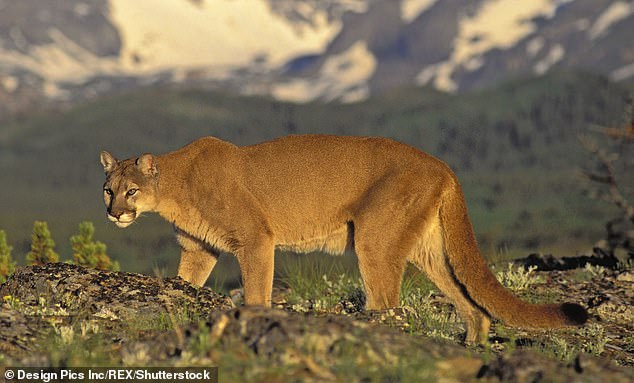 Analysis of the mitochondrial DNA in the dried out faeces confirmed it came from a species of a Puma concolor - commonly known as a cougar.