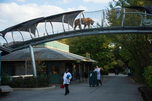Tiger overhead … Philadelphia zoo's Big Cat Crossing.