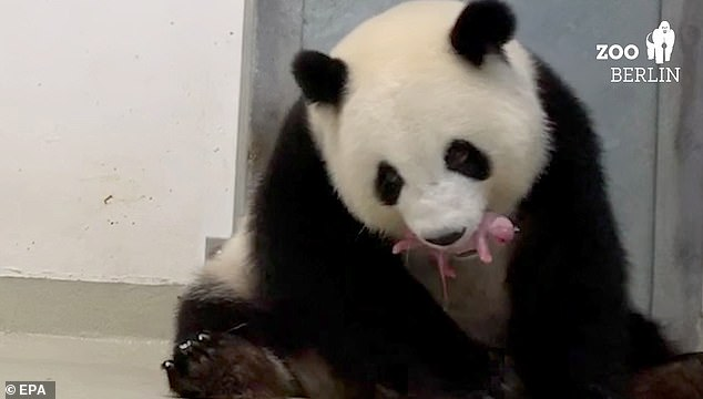 'Meng Meng became a mom - twice! We are so happy, we are speechless,' the zoo said on Twitter, also posting a video (pictured) of the new mother guiding one of her pink babies to feed