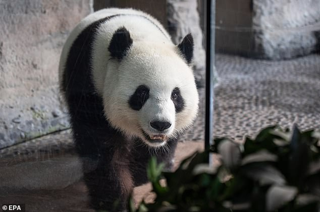 On loan from China, Meng Meng (pictured on August 14) and male panda Jiao Qing arrived in Berlin in June 2017 to great fanfare