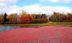 Cranberry Harvest. Cranberry festival; Shutterstock ID 693780508; Purchase Order: -