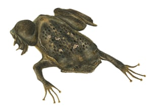 The suriname toad, as drawn by Sami Bayly