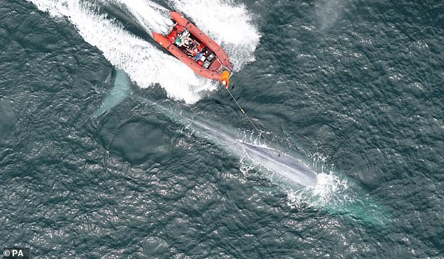 A blue whale can beat its heart just twice a minute when diving — a rate that is half as slow as had previously been thought possible — an experiment has found