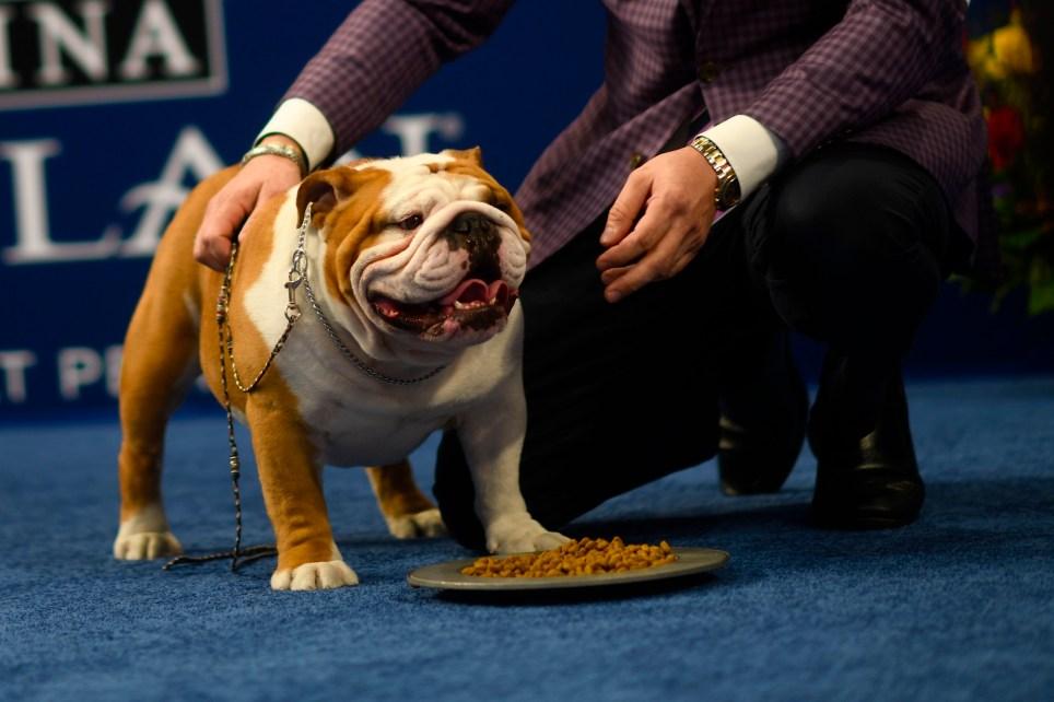 Photo of Thor the English Bulldog at the National Dog Show