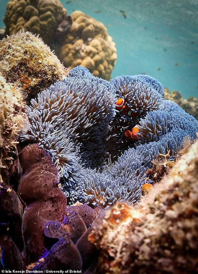 Different species of fish provide different functions on coral reefs, meaning that an abundant and diverse fish population is important for maintaining a healthy ecosystem. Pictured, clownfish shelter amidst the tentacles of an anemone on the Great Barrier Reef