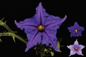 A new species of plant from Brazil named Solanum medusae.