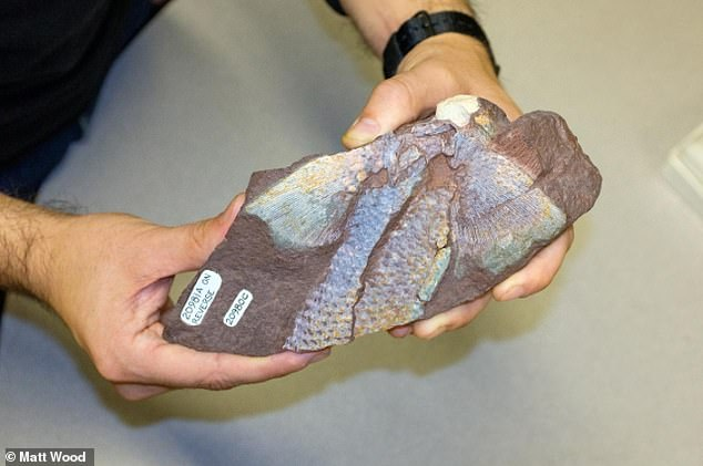 A fossil cast of a fin from a juvenile Sauripterus taylori, a late Devonian fish with primitive features of tetrapods