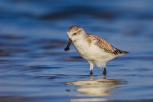 Spoon-billed sandpipers migrate from tropical Asia to Arctic Russia, a journey of some 5,000 miles.