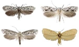 Four species of moth from east Africa named by the Natural History Museum in 2019: Yponomeutidae horologa, Yponomeutidae onyxella, Yponomeutidae oromiensis and Yponomeutidae octocentra from eastern Africa.