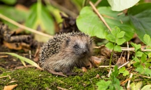 juvenile hedgehog in autumn garden amongst moss and leaves