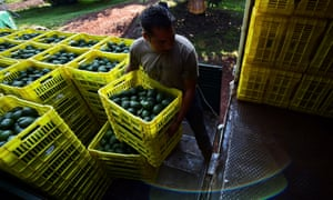 A farmer loads fruit boxes with avocados on to a truck at an orchard in Uruapan, Michoacán.
