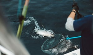 Tuna Fisherman Netting Fish Off Side Of Boat