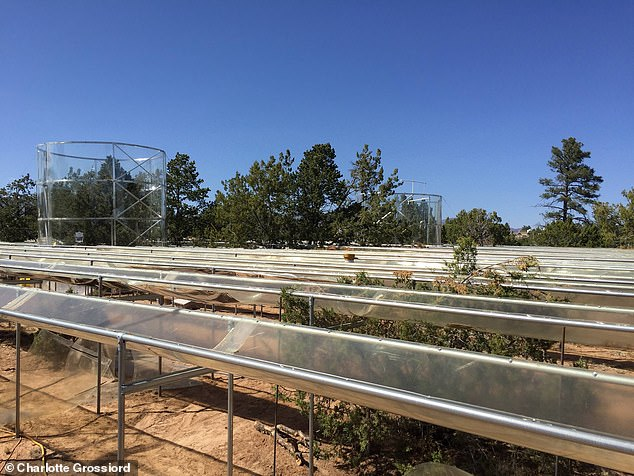 Deep roots allow cone-bearing trees — or 'conifers' — to survive for up to five years of droughts without rain by tapping into groundwater, computer models revealed. Pictured, trees at the Los Alamos Survival-Mortality experiment site in New Mexico, whose growth patterns were compared to the simulated trees in the researchers' computer models