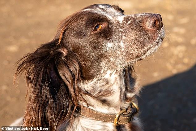 The Royal Society for the Protection of Birds (RSPB) will recruit a sniffer dog to help protect Britain's 41 protected seabird islands from the threat of rats (stock image)
