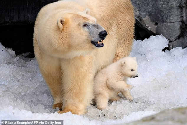 The scientist says these animals are turning on each other because their food supply is scarce – large males are attacking females and cubs because they are easy targets and mothers are eating their babies