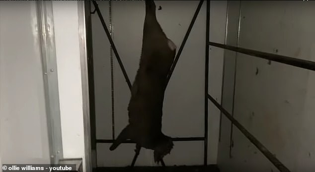 The kill: Then footage shows Ollie himself hanging a up the dead venison up inside a giant fridge, before focusing in on the carcass