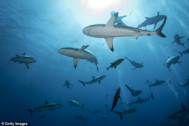 Grey Reef Sharks at Osprey Reef. Sharks are more likely to hunt in mid-latitude waters rather than warmer equatorial climates