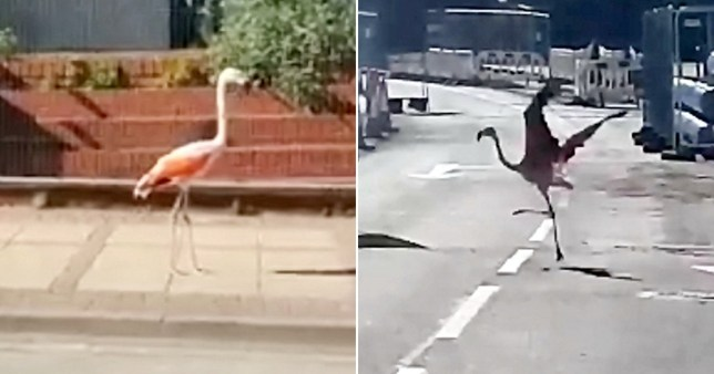 The flamingo surprised passersby