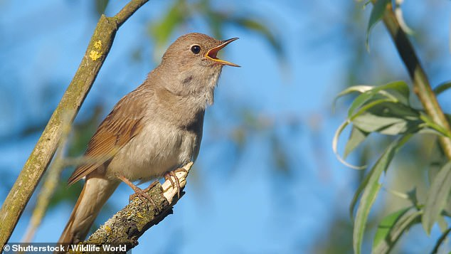 Male nightingales, in particular, are known to sing for hours on end each night during the breeding season. However, this song may become harder to hear, with nightingale numbers having fallen dramatically over recent decades largely due to global warming