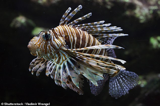 Venomous lionfish — the 'most damaging invasive fish species' — are thriving off of the south of Europe and threatening native marine life in the Mediterranean