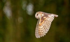 A barn owl in flight