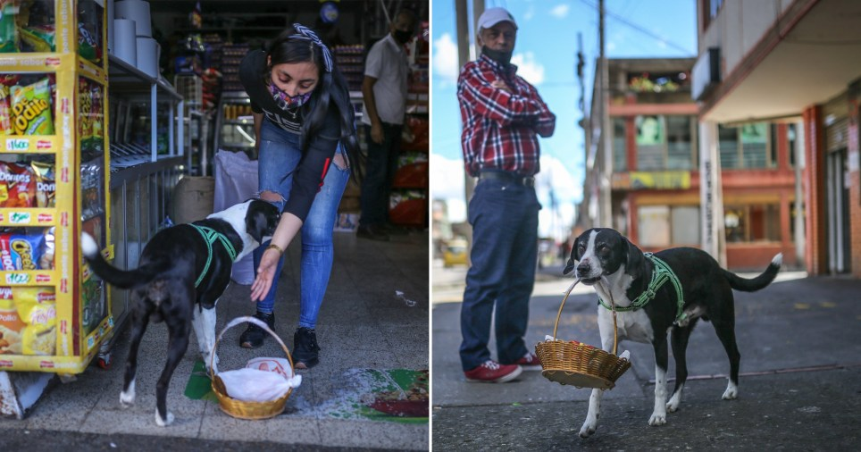 Dog Niño has been picking up food shopping for his owner José Ever Henao, in Bogota, Colombia, during the pandemic.