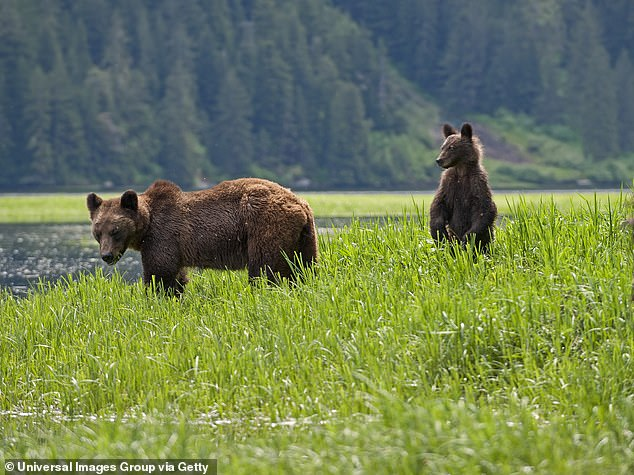 A new study found that bears that lived close to towns and cities had mortality rates that were 7.5 times higher than those that lived further into the wild
