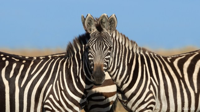 Which Zebra is facing the front?