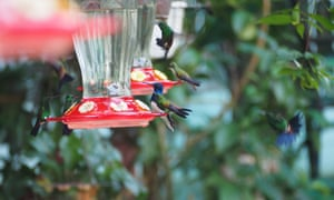 Feeders filled with a sugar-based nectar drink are distributed throughout the garden.
