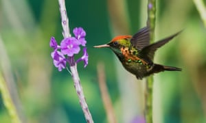 A tufted coquette.