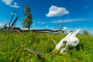 Animal welfare concerns mean that the population of herbivores on the Oostvaardersplassen reserve are now seriously controlled.