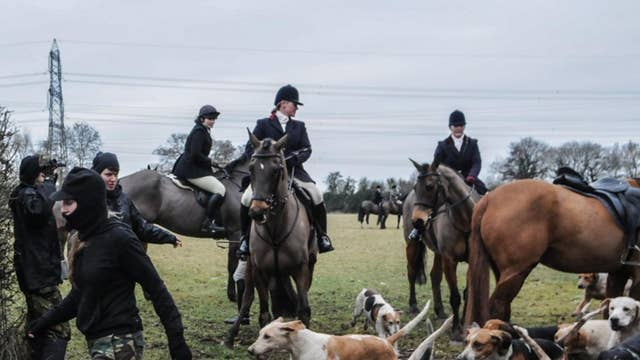 A pack of hounds races past saboteurs. Hunting foxes with hounds is illegal in England. 2011