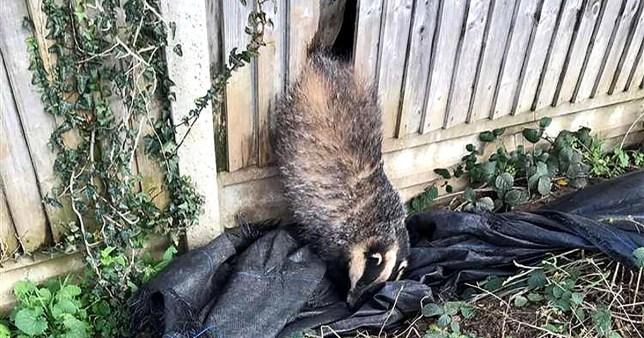 Badger stuck in a garden fence in Ashford, Kent
