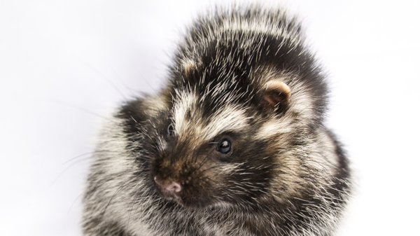 The African crested rat is the only mammal known to sequester lethal plant toxins.