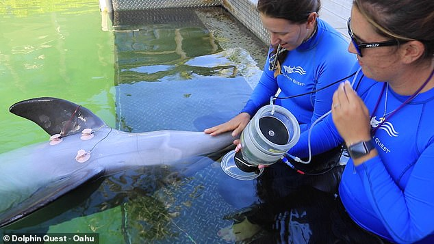 The research team worked with three male bottlenose dolphins specially trained to hold their breath for different lengths of time on instruction.